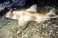 Шлемовидная рогатая бычья акула