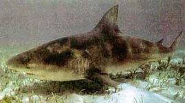 Полярная Акула.